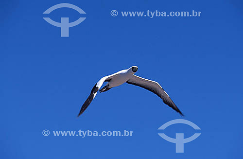(Sula dactylatra) - Vôo de pássaro - Atobá branco  - PARNA de Abrolhos - BA - Brasil  - Caravelas - Bahia - Brasil