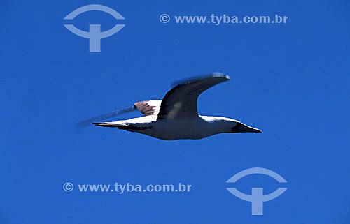 (Sula dactylatra) Atobá branco voando  - PARNA de Abrolhos - BA - Brasil  - Caravelas - Bahia - Brasil