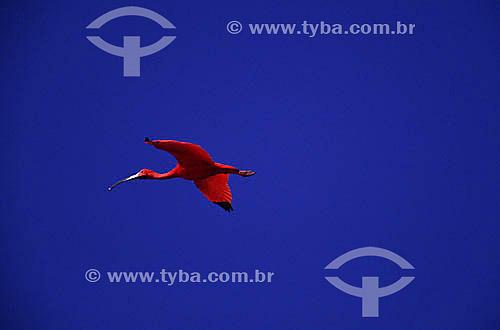 (Eudocimus ruber) - Guará Vermelho voando - Alcântara - MA - Brasil  - Alcântara - Maranhão - Brasil