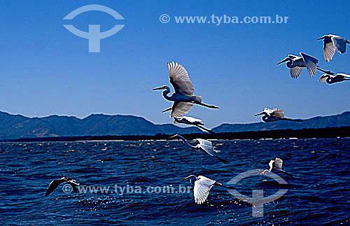 Vôo de pássaros, garças - Baía de Sepetiba - RJ - Brasil  - Rio de Janeiro - Rio de Janeiro - Brasil