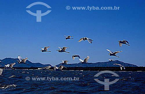 Vôo de pássaros - Baía de Sepetiba - RJ - Brasil  - Rio de Janeiro - Rio de Janeiro - Brasil