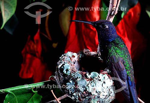 (Eupetomena macroura) Beija-flor tesourão em ninho - Mata Atlântica - RJ - Brasil  - Rio de Janeiro - Brasil