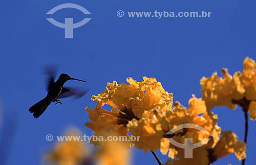 (Heliomaster squamosus) Beija-flor-de-garganta-verde voando - Mata Atlântica - Brasil