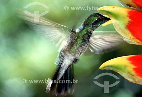 (Colibri serrirostris) - Beija-Flor-de-Orelha-Violeta - pássaro achado no centro e sudeste brasileiro - Brasil
