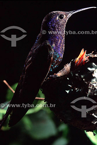 (Eupetomena macroura) Beija-flor tesourão com filhote no ninho - Mata Atlântica - RJ - Brasil  - Rio de Janeiro - Brasil
