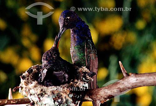 (Eupetomena macroura) Beija-flor tesourão alimentando filhote no ninho - Mata Atlântica - RJ - Brasil / Data: 1995