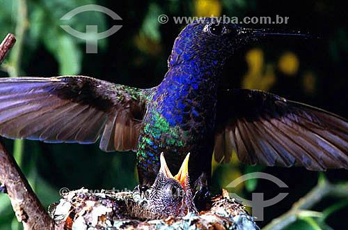 (Eupetomena macroura) Beija-flor tesourão alimentando filhote no ninho - Mata Atlântica - RJ - Brasil  - Rio de Janeiro - Brasil