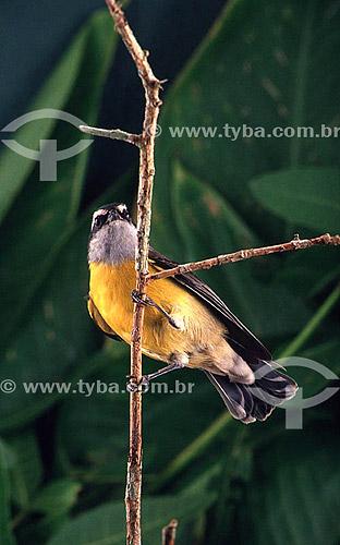 (Coreoba flaveola) Pássaro Sebinho - Brasil