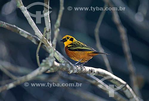 Saíra Dourada (Tangara arthus) - Parque Nacional Henri Pittier - Estado de Aragua - venezuela