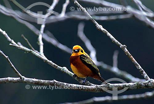 (Tangara arthus) Saíra dourada - Aragua - Parque Nacional Henri Pittier - norte da Venezuela