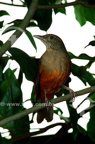 (Turdus rufiventris) Sabiá-laranjeira - Brasil - 2001