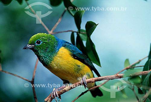 (Chlorophonia cyanea) Bonito-do-Campo - Brasil