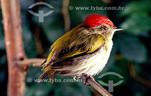 (Machaeropterus regulus) Tangará-Rajado - Brasil