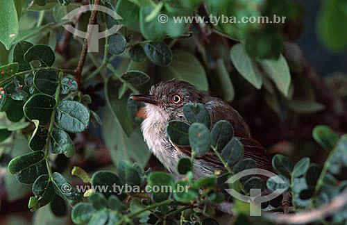 (Hemitriccus margaritaceiventer) Maria-olho-de-ouro - Brasil