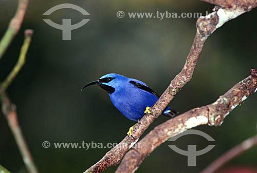 (Cyanerpes caeruleus) Saí-de-Perna-Amarela - Trinidad & Tobago
