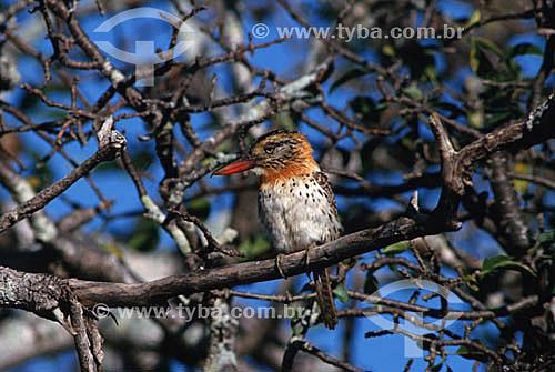 (Nystalus maculatus) - Rapazinho-dos-velhos - CE - Brasil  - Ceará - Brasil