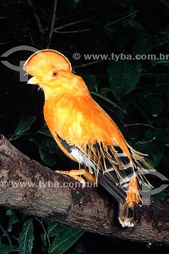 (Rupicola rupicola) Galo-da-Serra, Galo-da-Serra-do-Pará ou Galo-da-rocha - AM - Brasil  - Amazonas - Brasil