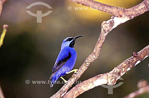 (Cyanerpes caeruleus) Saí-de-Perna-Amarela - cidade de Trinidad - Trinidad & Tobago