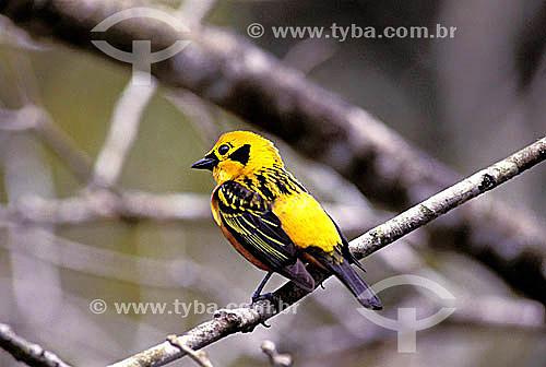 (Tangara arthus) Saíra dourada - Parque Nacional Henri Pittier - Araguá - norte da Venezuela