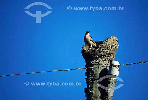 (Furnarius rufus) - João de Barro no ninho em cima de poste - Brasil