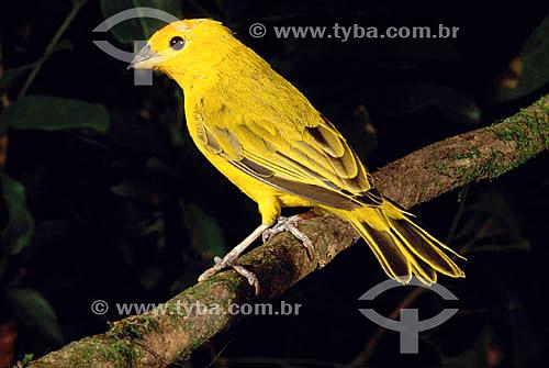 (Sicalis flaveola) - Canário da Terra - Brasil