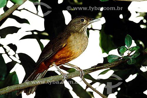 (Turdus rufiventris) - Sabiá Laranjeira - Brasil
