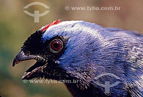 (Stephanophorus diadematus) Sanhaço Frade - sul do Brasil