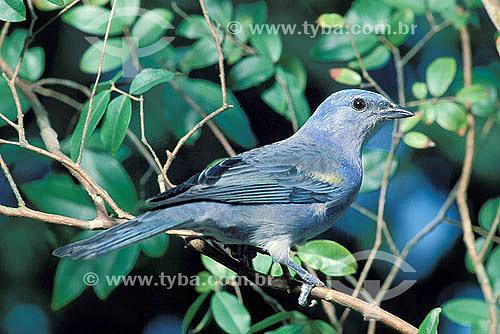 Sanhaço-de-encontro-amarelo (Thraupis ornata) -  Mata Atlântica - Brasil