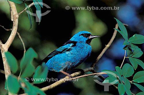 Saí-azul, Saíra (Dacnis cayana) Floresta amazônica e Mata Atlântica - Brasil