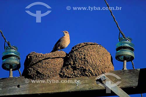 (Furnarius rufus) João-de-barro em cima do ninho sobre poste elétrico - Brasil