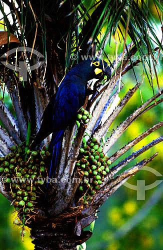 (Anodorhynchus leari) Arara Azul de Lear se alimentando de fruto da Palmeira de Licuri  - vegetação de Caatinga - BA - Brasil  - Bahia - Brasil