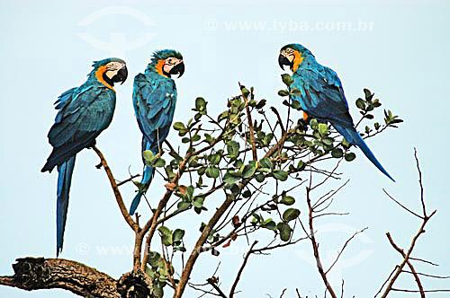 (Ara ararauna) Araras Canindé - Parque Nacional das Emas - GO - Brasil  O Parque é Patrimônio Mundial pela UNESCO desde 16-12-2001 / Data: 2005
