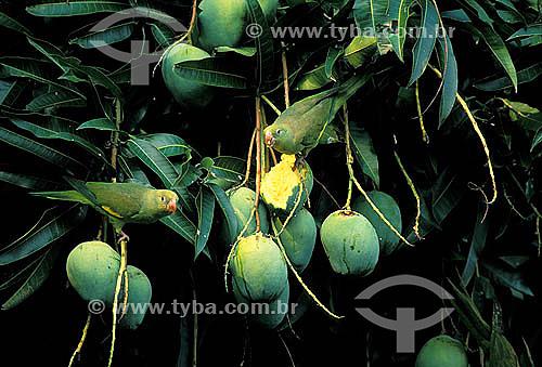 (Brotogeris chiriri) Periquito-de-encontro-amarelo - Brasil central