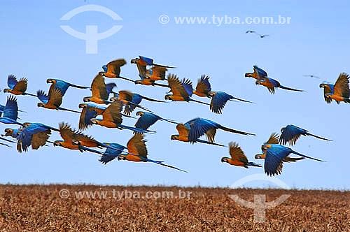 (Ara ararauna) Araras Canindé voando em bando - Parque nacional das Emas - Mato Grosso do Sul - Brasil / Data: 2005