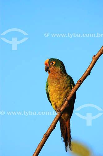 Periquito-rei (Aratinga aurea) - também conhecido como Jandaia Rei, Jandaia Estrela, Mocinha ou Jandaia áurea - Parque Nacional das Emas - GO - Brasil   O Parque é Patrimônio Mundial pela UNESCO desde 16-12-2001  - Goiás - Brasil