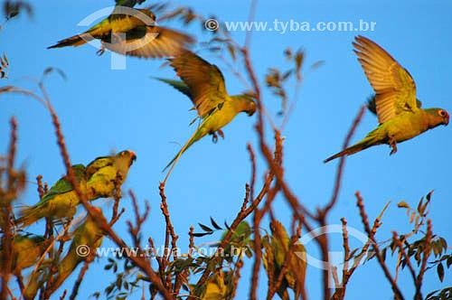 Periquito-rei (Aratinga aurea) - também conhecido como Jandaia Rei, Jandaia Estrela, Mocinha ou Jandaia áurea - Parque Nacional das Emas - GO - Brasil. Data: 2005.  O Parque é Patrimônio Mundial pela UNESCO desde 16-12-2001