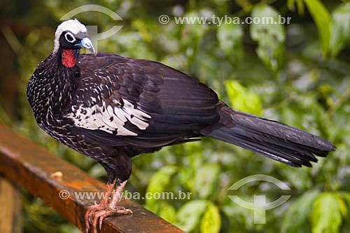 Jacutinga ( Pipile jacutinga) no Parque das Aves - Foz do Iguaçu - PR - Brasil  - Foz do Iguaçu - Paraná - Brasil