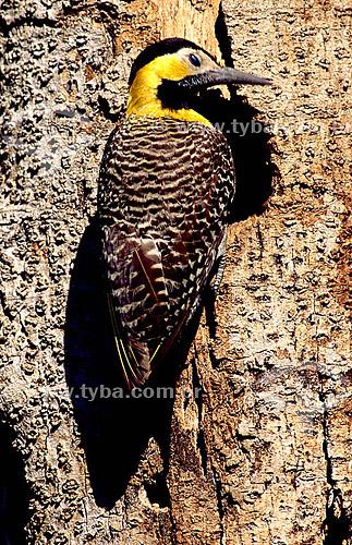 (Colaptes campestris) - Pica-Pau-do-Campo - PARNA Pantanal Matogrossense - MT - Brasil  A área é Patrimônio Mundial pela UNESCO desde 2000.  - Mato Grosso - Brasil