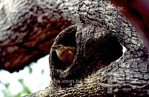 (Furnarius rufus) João-de-barro ou Forneiro sobre casa - PARNA Pantanal Matogrossense - MT - Brasil  A área é Patrimônio Mundial pela UNESCO desde 2000.  - Mato Grosso - Brasil