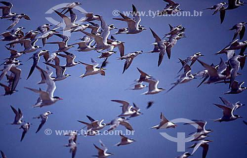 (Sterna sp) Grupo de Pássaros, aves costeiras - Trinta-réis -  Litoral do RS - Brasil  - Rio Grande do Sul - Brasil