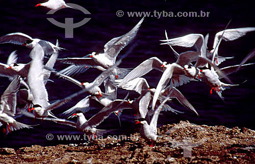 (Sterna sp) - aves migratórias - Península de Valdes - Patagônia - Argentina