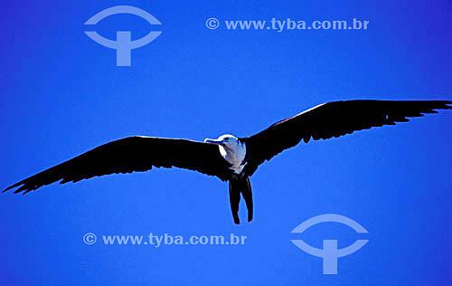 (Fregata magnificens) - Fragata voando - PARNA de Abrolhos - BA - Brasil  - Caravelas - Bahia - Brasil