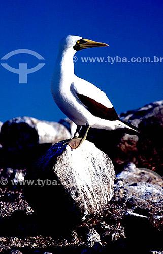 (Sula dactylatra) Atobá-branco - Arquipélago de Abrolhos - Costa das Baleias - litoral sul da Bahia - Brasil  O Parque Nacional Marinho de Abrolhos foi criado em 6 de abril de 1983.  - Caravelas - Bahia - Brasil