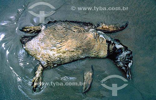 (Spheniscus magellanicus) - Morte por esforço de migração do Pinguim-de-magalhães - PARNA de Superagüi - PR - Brasil  O trecho da Mata Atlântica que inicia-se na Serra da Juréia, em Iguape/SP e vai até à Ilha do Mel, em Paranaguá/PR é Patrimônio Mundial Natural da UNESCO desde 1999.  - Guaraqueçaba - Paraná - Brasil