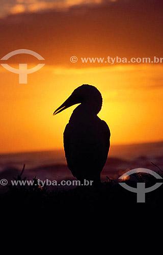 (Sula dactylatra) - Atobá Mascarado ou (Sula leucogaster) - Atobá Marrom - silhueta de pássaro ao pôr-do-sol - - Arquipélago de Abrolhos - Costa das Baleias - litoral sul da Bahia - Brasil  O Parque Nacional Marinho de Abrolhos foi criado em 6 de abril de 1983.  - Caravelas - Bahia - Brasil