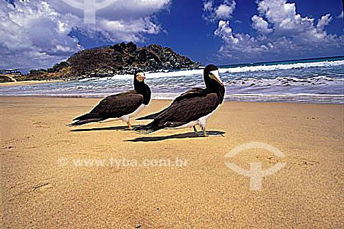(Sula leucogaster) - Atobá-Marrom - Fernando de Noronha - PE - Brasil  O arquipélago Fernando de Noronha é Patrimônio Mundial pela UNESCO desde 16-12-2001.  - Fernando de Noronha - Pernambuco - Brasil