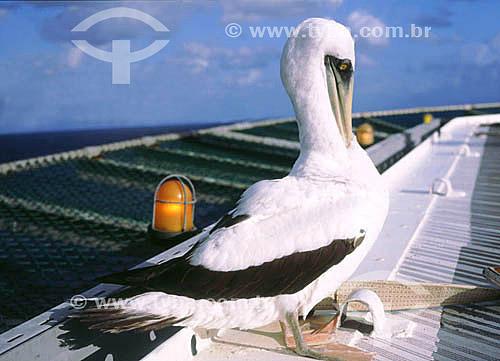 (Sula dactylatra) - Atobá-branco - - Arquipélago de Abrolhos - Costa das Baleias - litoral sul da Bahia - Brasil  O Parque Nacional Marinho de Abrolhos foi criado em 6 de abril de 1983.  - Caravelas - Bahia - Brasil
