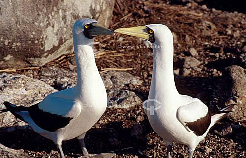(Sula dactylatra) - Atobá-branco - Arquipélago de Abrolhos - Costa das Baleias - litoral sul da Bahia - Brasil  O Parque Nacional Marinho de Abrolhos foi criado em 6 de abril de 1983.  - Caravelas - Bahia - Brasil
