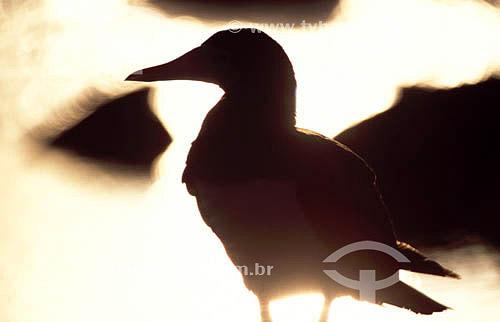 (Sula leucogaster) Atoba-Marron em silhueta - Arquipélago de Abrolhos - Costa das Baleias - litoral sul da Bahia - Brasil  O Parque Nacional Marinho de Abrolhos foi criado em 6 de abril de 1983.  - Caravelas - Bahia - Brasil