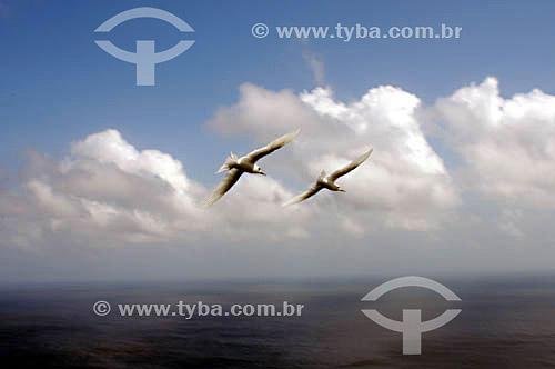 (Sula dactylatra) Mumbebo-Branco ou Atobá-Branco - ave marinha - segunda espécie de ave marinha mais comum no arquipélago de Fernando de Noronha - PE - Brasil  O arquipélago Fernando de Noronha é Patrimônio Mundial pela UNESCO desde 16-12-2001.  - Caravelas - Pernambuco - Brasil